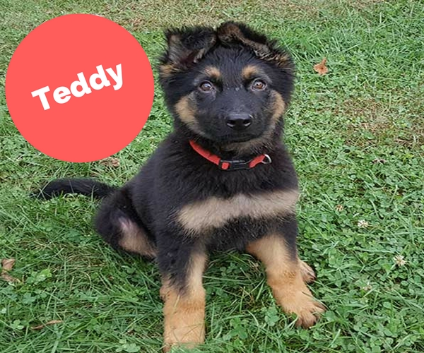 GSD puppies for sale indiana